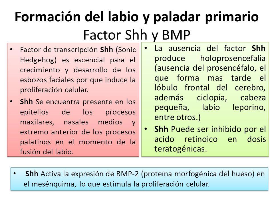 Formación del labio y paladar primario Factor Shh y BMP Factor de transcripción Shh (Sonic Hedgehog) es escencial para el crecimiento y desarrollo de