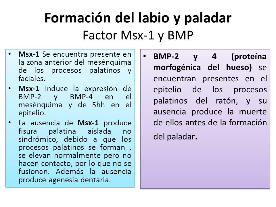 Formación del labio y paladar Factor Msx-1 y BMP Msx-1 Se encuentra presente en la zona anterior del mesénquima de los procesos palatinos y faciales.