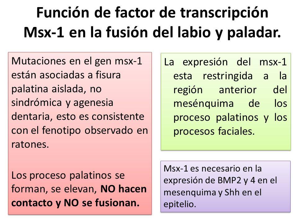 Función de factor de transcripción Msx-1 en la fusión del labio y paladar. Mutaciones en el gen msx-1 están asociadas a fisura palatina aislada, no si