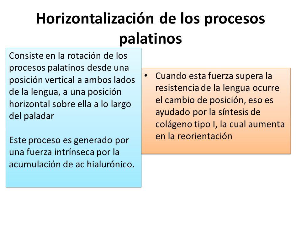 Horizontalización de los procesos palatinos Cuando esta fuerza supera la resistencia de la lengua ocurre el cambio de posición, eso es ayudado por la