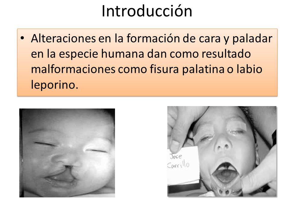 Introducción Alteraciones en la formación de cara y paladar en la especie humana dan como resultado malformaciones como fisura palatina o labio lepori