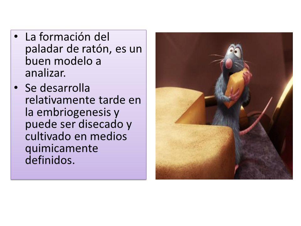 La formación del paladar de ratón, es un buen modelo a analizar. Se desarrolla relativamente tarde en la embriogenesis y puede ser disecado y cultivad