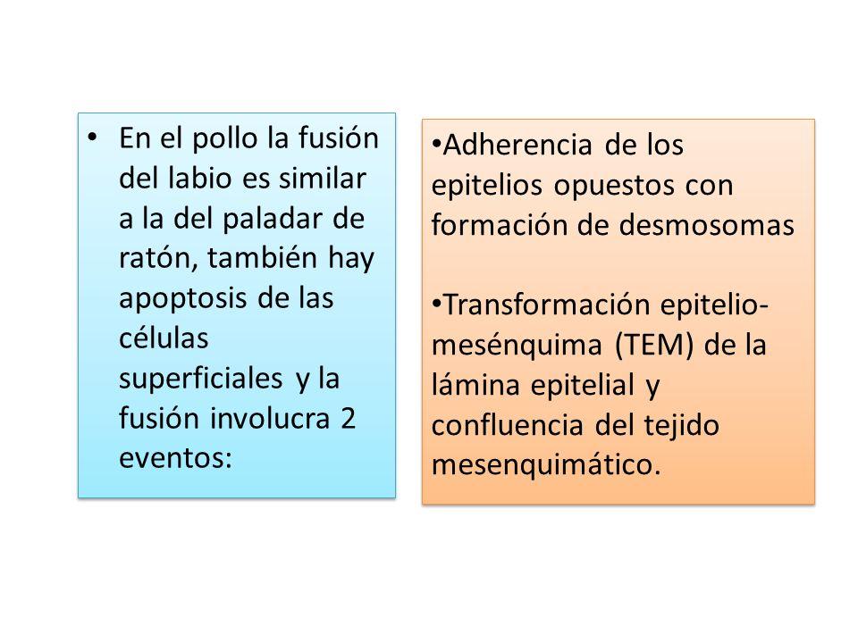 En el pollo la fusión del labio es similar a la del paladar de ratón, también hay apoptosis de las células superficiales y la fusión involucra 2 event