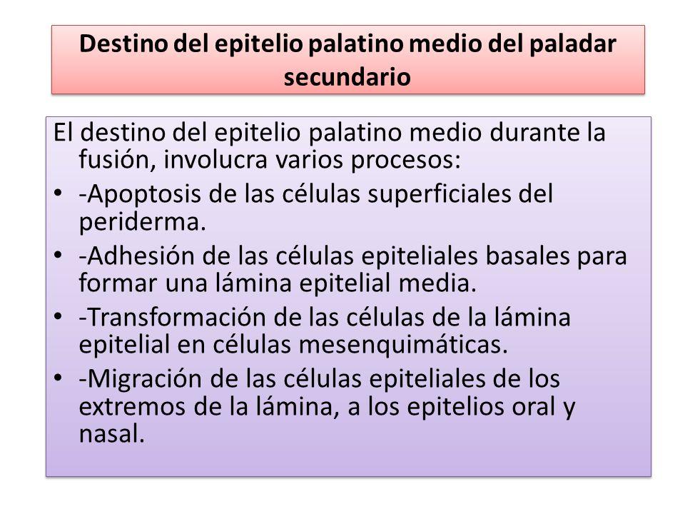 Destino del epitelio palatino medio del paladar secundario El destino del epitelio palatino medio durante la fusión, involucra varios procesos: -Apopt