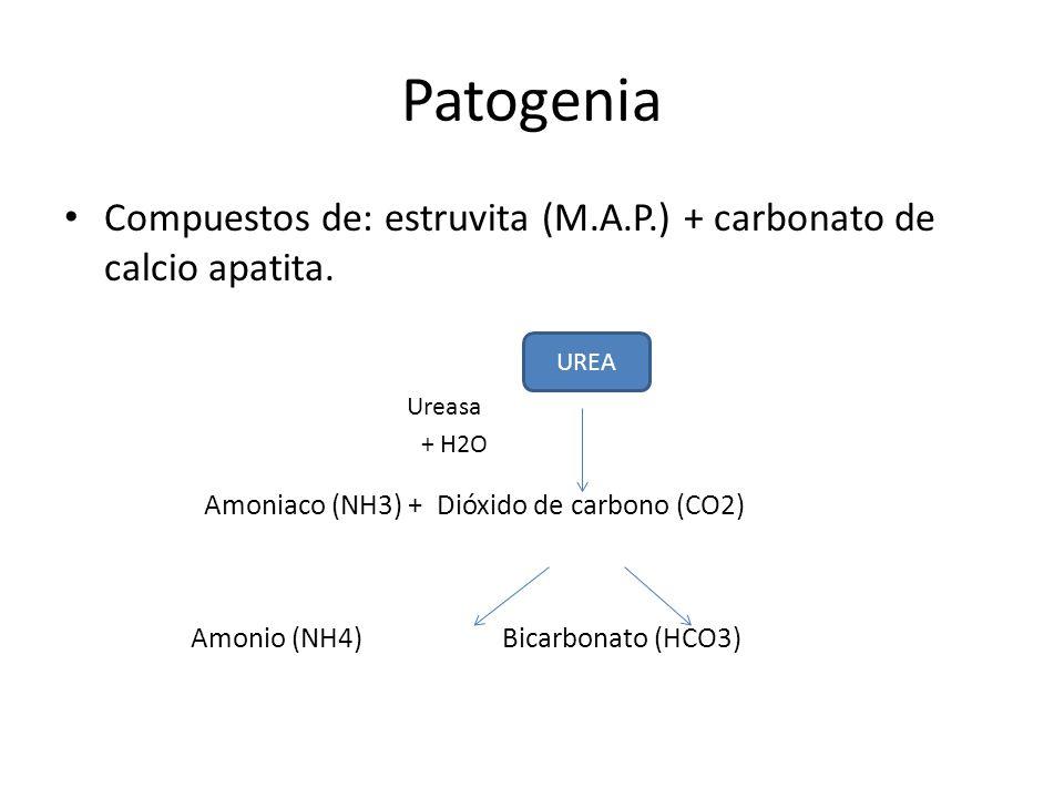 Patogenia Producción de amoniaco Solubilidad pH urinario del fosfato Formación de polvo de estruvita - apatita -Carbonato de apatita: pH > 6.8 -Estruvita: pH > 7.2