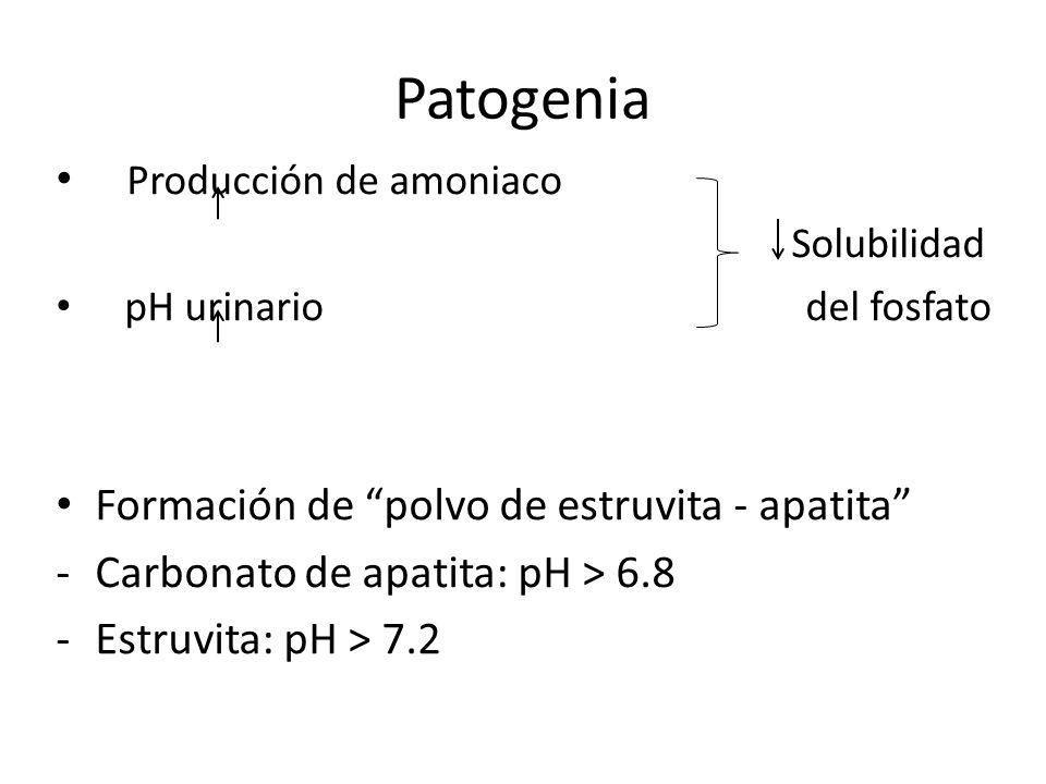 Patogenia Polvo estruvita – apatita se produce dentro y alrededor de las bacterias.