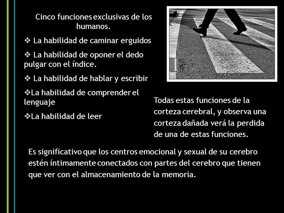 Cinco funciones exclusivas de los humanos. La habilidad de caminar erguidos La habilidad de oponer el dedo pulgar con el índice. La habilidad de habla