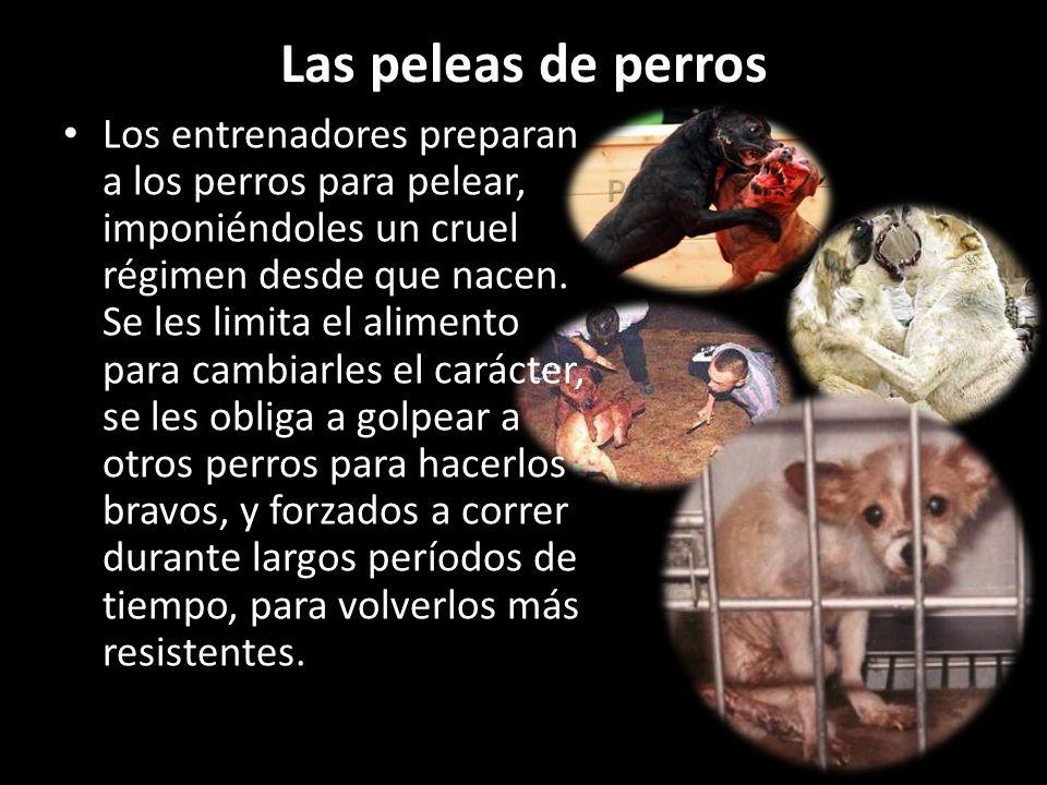 Las peleas de perros Los entrenadores preparan a los perros para pelear, imponiéndoles un cruel régimen desde que nacen. Se les limita el alimento par