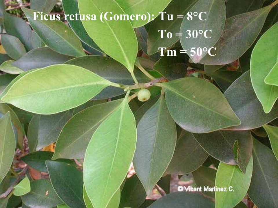 –Ficus retusa (Gomero): Tu = 8°C To = 30°C Tm = 50°C