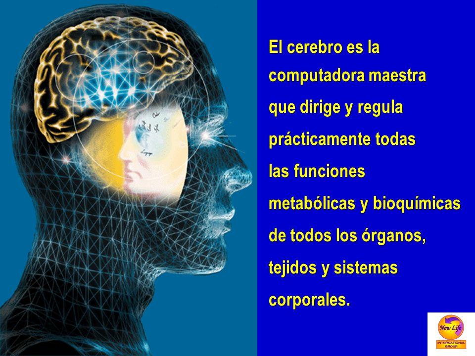 El cerebro es la computadora maestra que dirige y regula prácticamente todas las funciones metabólicas y bioquímicas de todos los órganos, tejidos y s