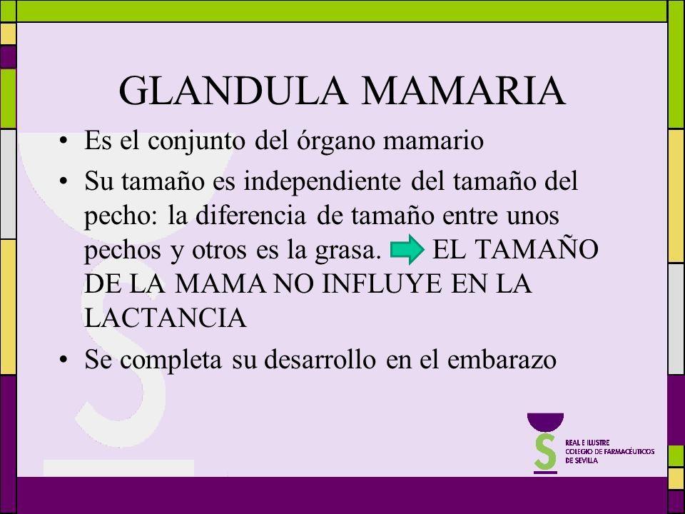 GLANDULA MAMARIA Es el conjunto del órgano mamario Su tamaño es independiente del tamaño del pecho: la diferencia de tamaño entre unos pechos y otros