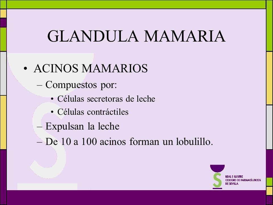 GLANDULA MAMARIA ACINOS MAMARIOS –Compuestos por: Células secretoras de leche Células contráctiles –Expulsan la leche –De 10 a 100 acinos forman un lo