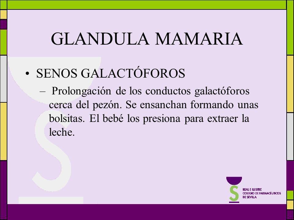 GLANDULA MAMARIA SENOS GALACTÓFOROS – Prolongación de los conductos galactóforos cerca del pezón. Se ensanchan formando unas bolsitas. El bebé los pre