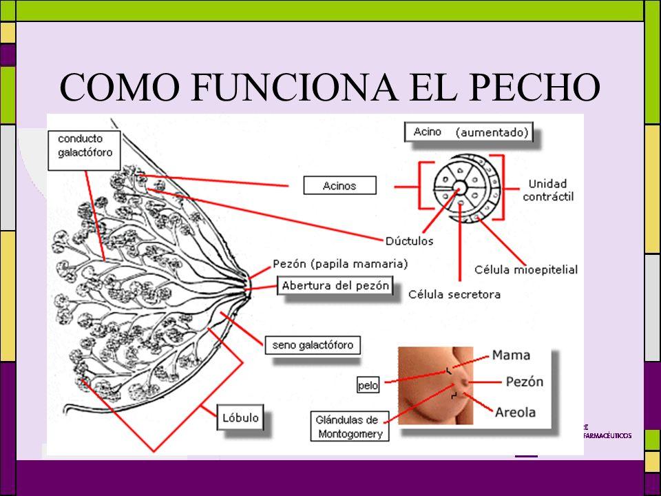 COMO FUNCIONA EL PECHO