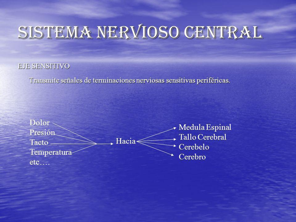 SISTEMA NERVIOSO CENTRAL EJE SENSITIVO Transmite señales de terminaciones nerviosas sensitivas periféricas. Dolor Presión Tacto Temperatura etc…. Haci