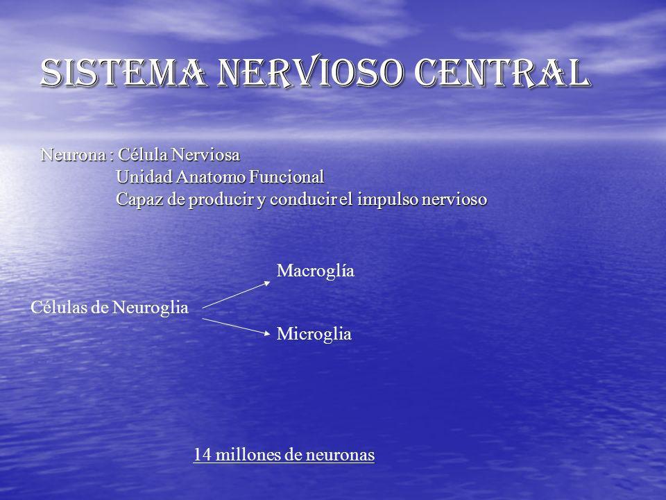 SISTEMA NERVIOSO CENTRAL Neurona : Célula Nerviosa Unidad Anatomo Funcional Capaz de producir y conducir el impulso nervioso Células de Neuroglia Macr