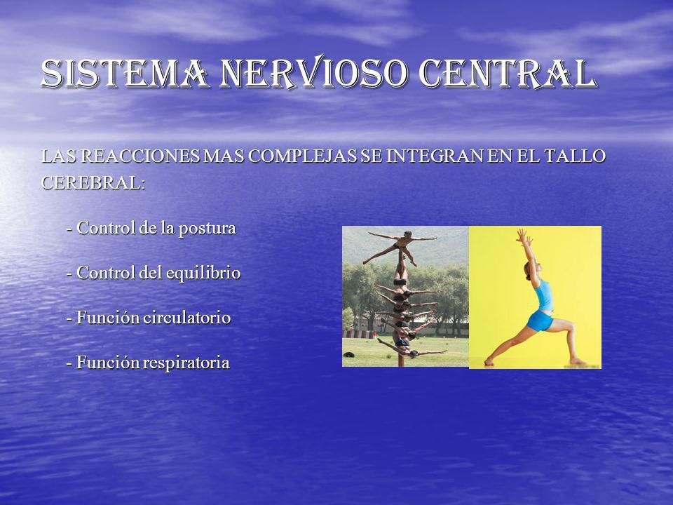 SISTEMA NERVIOSO CENTRAL LAS REACCIONES MAS COMPLEJAS SE INTEGRAN EN EL TALLO CEREBRAL: - Control de la postura - Control del equilibrio - Función cir