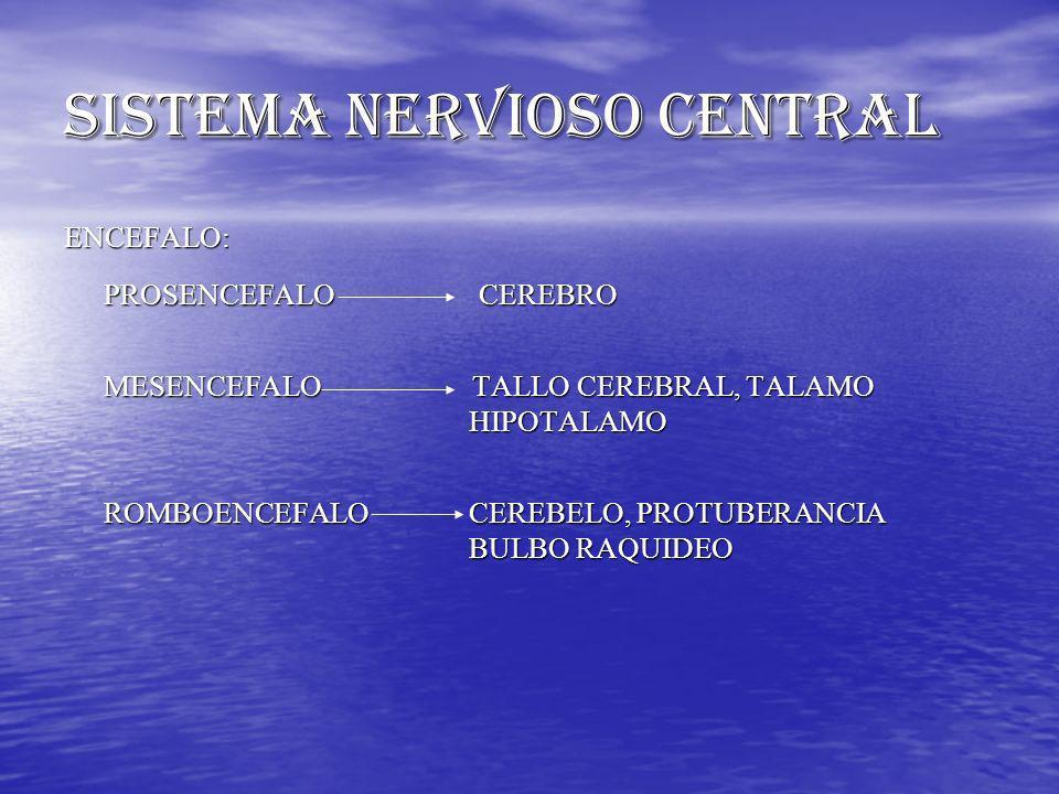 SISTEMA NERVIOSO CENTRAL ENCEFALO: PROSENCEFALO CEREBRO MESENCEFALO TALLO CEREBRAL, TALAMO HIPOTALAMO HIPOTALAMO ROMBOENCEFALO CEREBELO, PROTUBERANCIA