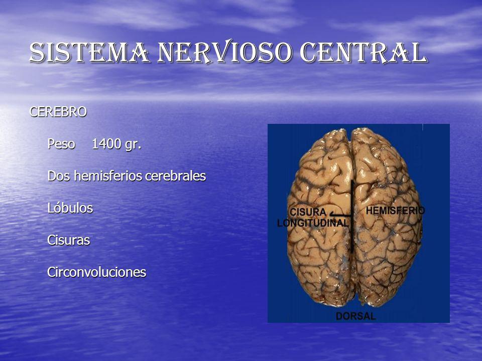 SISTEMA NERVIOSO CENTRAL CEREBRO Peso 1400 gr. Dos hemisferios cerebrales Lóbulos Cisuras Circonvoluciones