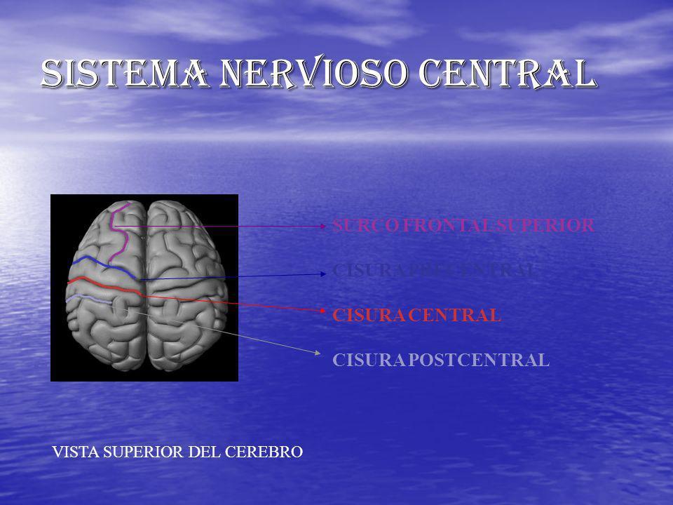 SURCO FRONTAL SUPERIOR CISURA PRECENTRAL CISURA CENTRAL CISURA POSTCENTRAL VISTA SUPERIOR DEL CEREBRO