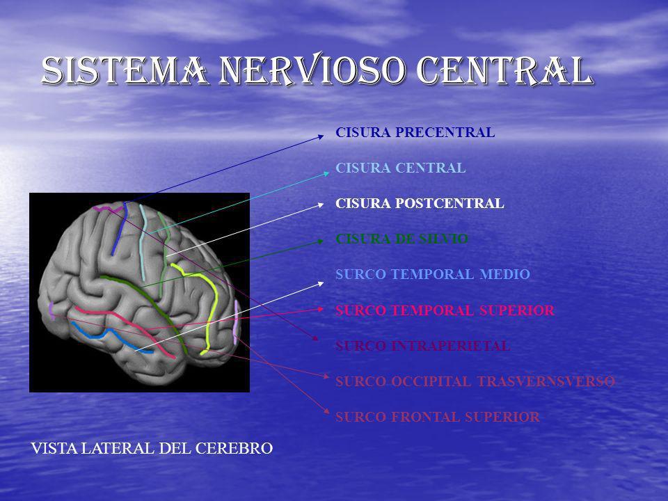 SISTEMA NERVIOSO CENTRAL CISURA PRECENTRAL CISURA CENTRAL CISURA POSTCENTRAL CISURA DE SILVIO SURCO TEMPORAL MEDIO SURCO TEMPORAL SUPERIOR SURCO INTRA