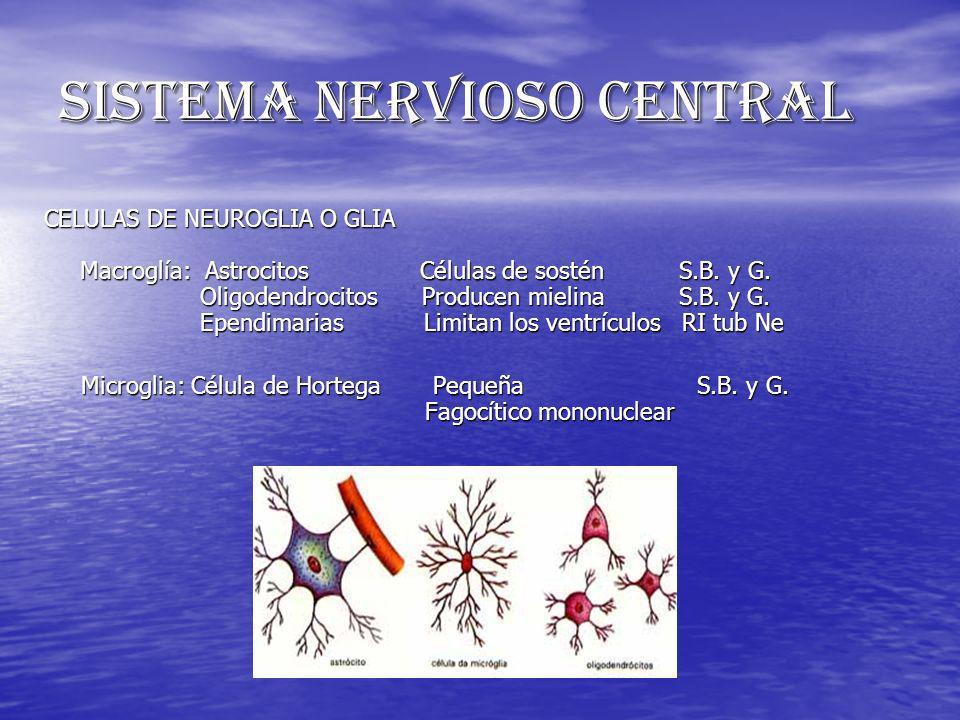 SISTEMA NERVIOSO CENTRAL CELULAS DE NEUROGLIA O GLIA Macroglía: Astrocitos Células de sostén S.B. y G. Oligodendrocitos Producen mielina S.B. y G. Epe