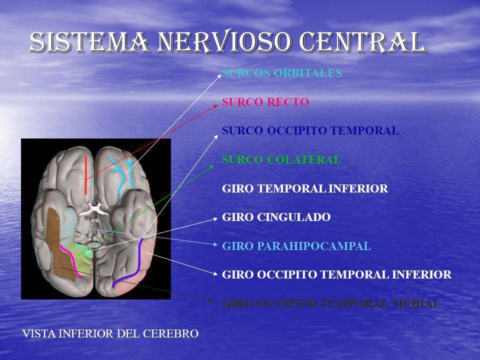 SISTEMA NERVIOSO CENTRAL SURCOS ORBITALES SURCO RECTO SURCO OCCIPITO TEMPORAL SURCO COLATERAL GIRO TEMPORAL INFERIOR GIRO CINGULADO GIRO PARAHIPOCAMPA