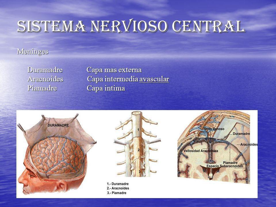SISTEMA NERVIOSO CENTRAL Menínges Duramadre Capa mas externa Aracnoides Capa intermedia avascular Piamadre Capa intima