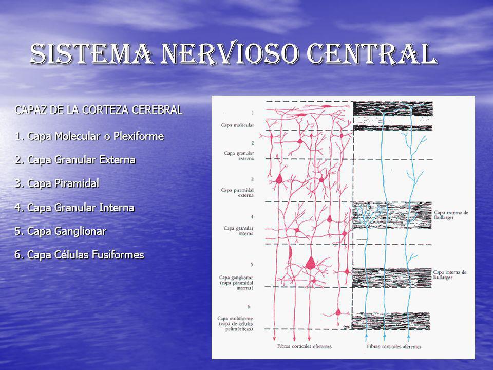 SISTEMA NERVIOSO CENTRAL CAPAZ DE LA CORTEZA CEREBRAL 1. Capa Molecular o Plexiforme 2. Capa Granular Externa 3. Capa Piramidal 4. Capa Granular Inter