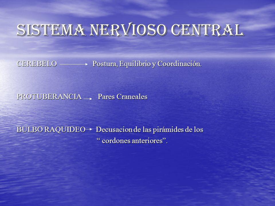CEREBELO Postura, Equilibrio y Coordinación. PROTUBERANCIA Pares Craneales BULBO RAQUIDEO Decusacion de las pirámides de los cordones anteriores. cord