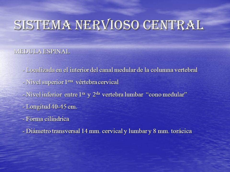 SISTEMA NERVIOSO CENTRAL MEDULA ESPINAL - Localizada en el interior del canal medular de la columna vertebral - Nivel superior 1 era vértebra cervical