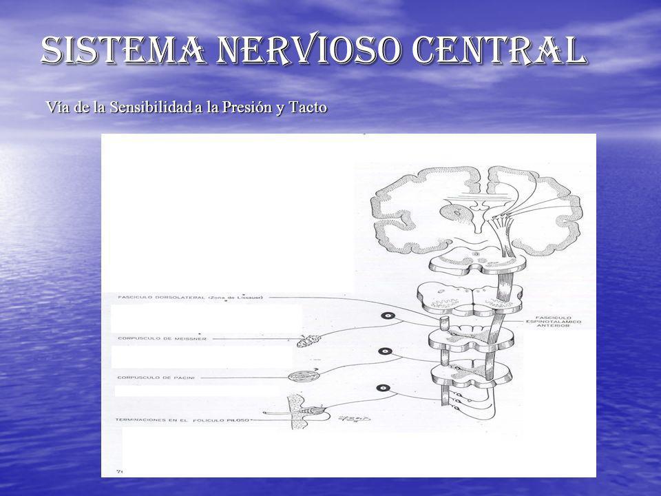 SISTEMA NERVIOSO CENTRAL Vía de la Sensibilidad a la Presión y Tacto Vía de la Sensibilidad a la Presión y Tacto