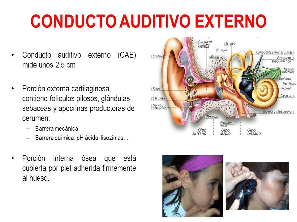 CONDUCTO AUDITIVO EXTERNO Conducto auditivo externo (CAE) mide unos 2,5 cm Porción externa cartilaginosa, contiene folículos pilosos, glándulas sebáce