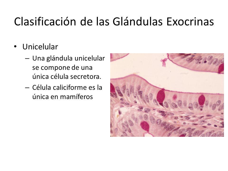 Clasificación de las Glándulas Exocrinas Unicelular – Una glándula unicelular se compone de una única célula secretora. – Célula caliciforme es la úni