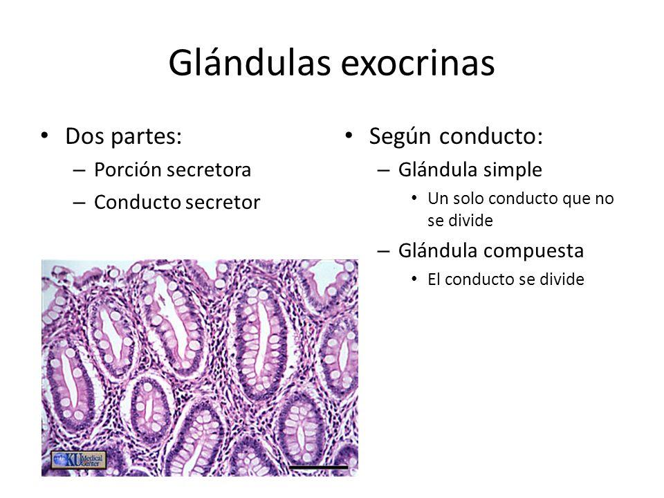 Glándulas exocrinas Dos partes: – Porción secretora – Conducto secretor Según conducto: – Glándula simple Un solo conducto que no se divide – Glándula compuesta El conducto se divide