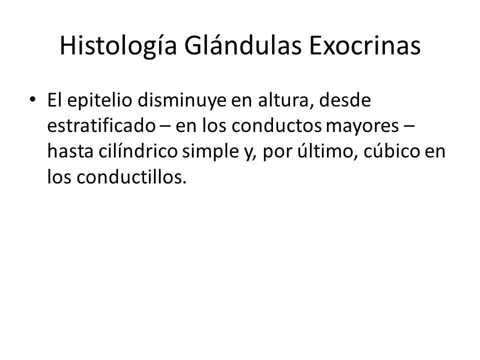 Histología Glándulas Exocrinas El epitelio disminuye en altura, desde estratificado – en los conductos mayores – hasta cilíndrico simple y, por último, cúbico en los conductillos.