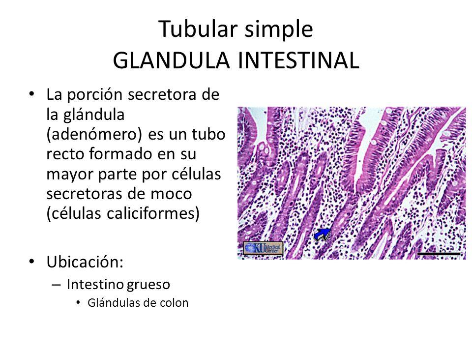 Tubular simple GLANDULA INTESTINAL La porción secretora de la glándula (adenómero) es un tubo recto formado en su mayor parte por células secretoras de moco (células caliciformes) Ubicación: – Intestino grueso Glándulas de colon