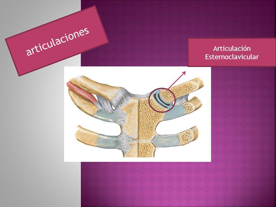 articulaciones Articulación Esternoclavicular
