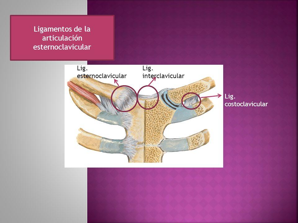 Ligamentos de la articulación esternoclavicular Lig. interclavicular Lig. costoclavicular Lig. esternoclavicular