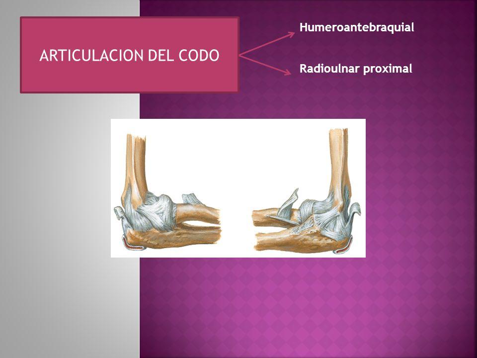 ARTICULACION DEL CODO Humeroantebraquial Radioulnar proximal