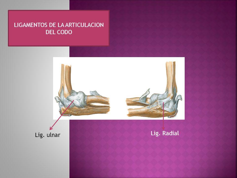 LIGAMENTOS DE LA ARTICULACION DEL CODO Lig. ulnar Lig. Radial