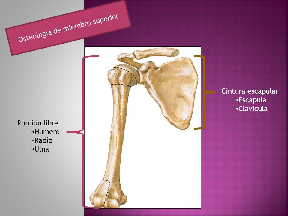 Cintura escapular Escapula Clavicula Porcion libre Humero Radio Ulna Osteología de miembro superior