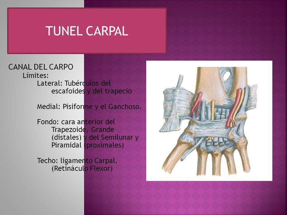 TUNEL CARPAL CANAL DEL CARPO Límites: Lateral: Tubérculos del escafoides y del trapecio Medial: Pisiforme y el Ganchoso. Fondo: cara anterior del Trap