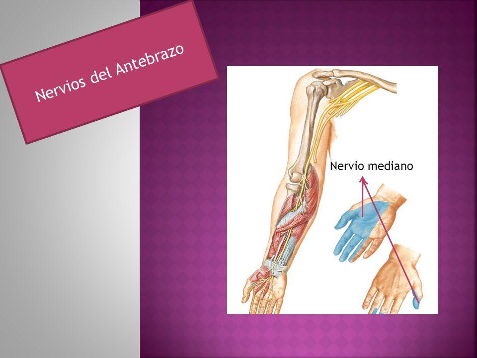 Nervios del Antebrazo Nervio mediano