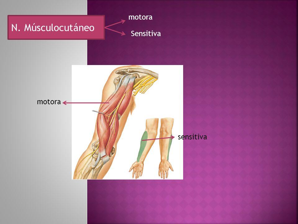 N. Músculocutáneo motora Sensitiva motora sensitiva