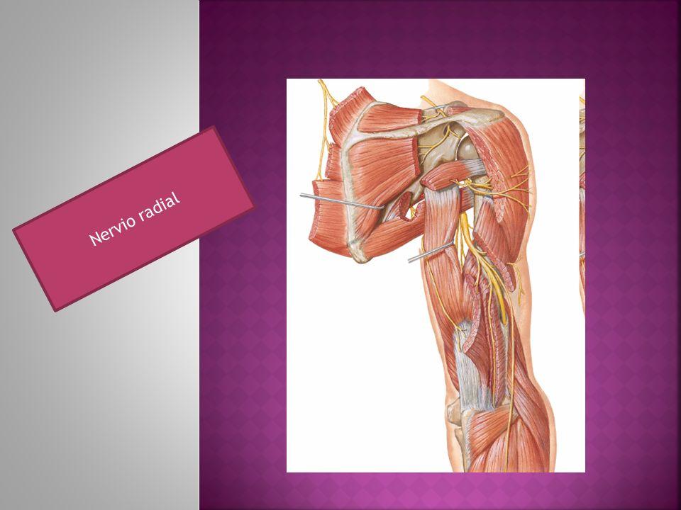 Nervio radial
