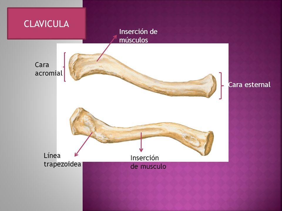Inserción de músculos Cara esternal Cara acromial Línea trapezoidea Inserción de musculo CLAVICULA