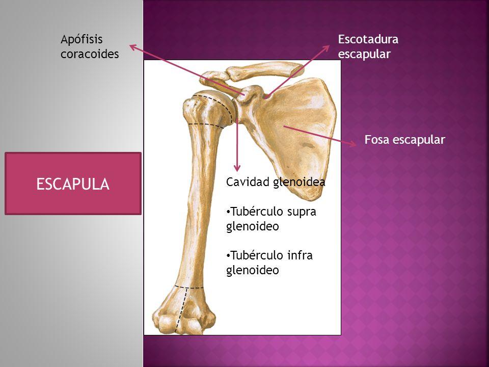 Apófisis coracoides Escotadura escapular Fosa escapular Cavidad glenoidea Tubérculo supra glenoideo Tubérculo infra glenoideo ESCAPULA
