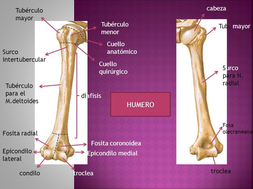 Tubérculo menor Cuello anatómico Cuello quirúrgico diafisis Fosita coronoidea Epicondilo medial trocleacondilo Epicondilo lateral Fosita radial Tubérc