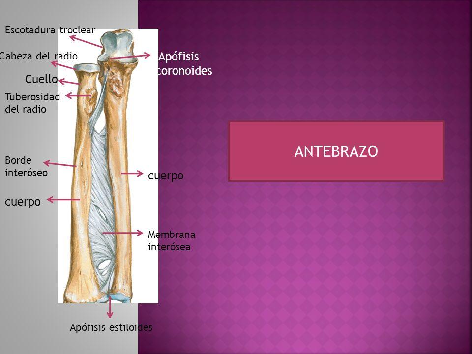 ARTICULACIONES DEL ANTEBRAZO Articulación proximal Articulación distal